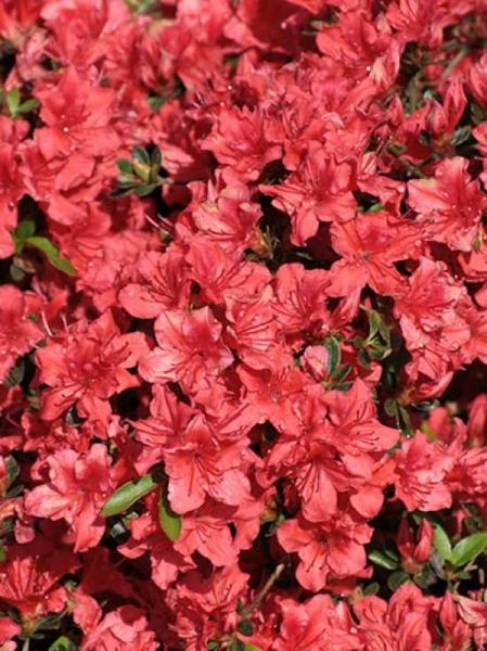 Rhododendron nakaharai 'Racoon' / Japanische Azalee 'Racoon'