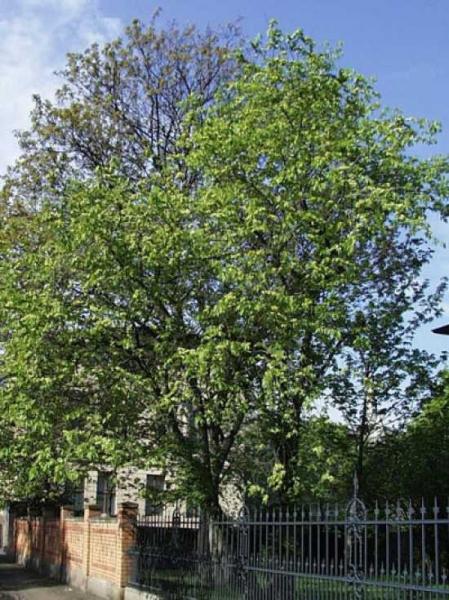 Ulmus carpinifolia / Feld-Ulme