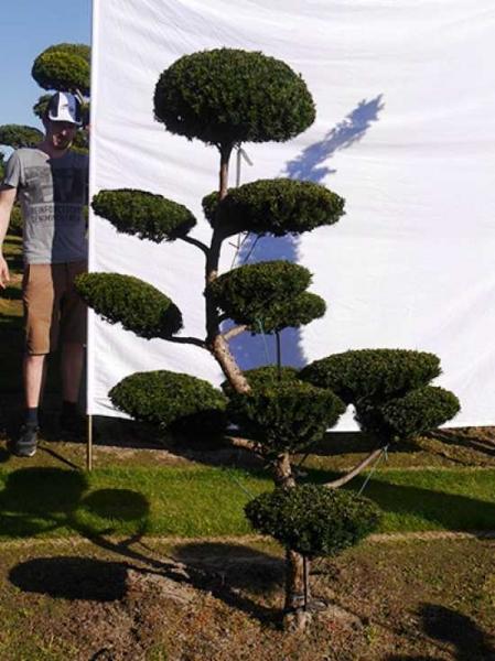 Taxus media 'Hillii' H: 190 cm B: 120 cm / Garten-Bonsai (0192)