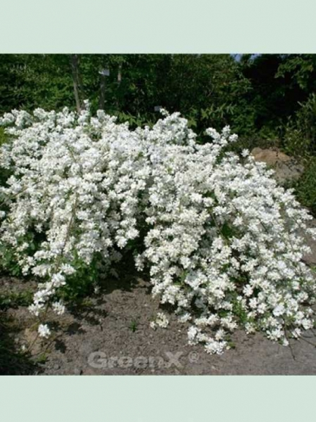 Exochorda macrantha 'The Bride' / Prunkspiere 'The Bride'