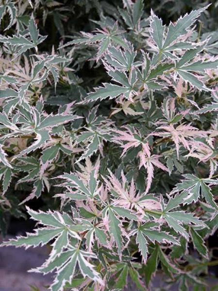 Acer palmatum 'Butterfly' auf Stamm / Japanischer Schmetterlings-Ahorn / Fächerahorn