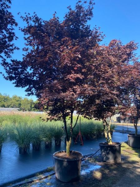 Acer palmatum 'Bloodgood' Schirm / Fächer-Ahorn / Japanischer Ahorn Schirm 200-250cm breit x 400-450cm hoch