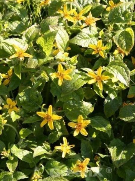 Chrysogonum virginianum / Goldkörbchen