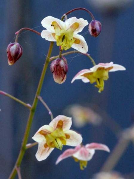 Epimedium pinnatum ssp. colchicum 'Black Sea' / Schwarzmeer-Elfenblume 'Black Sea'