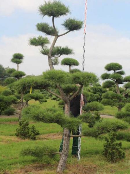 Pinus nigra ssp. nigra H: 330 cm B: 220 cm / Garten-Bonsai (201209)
