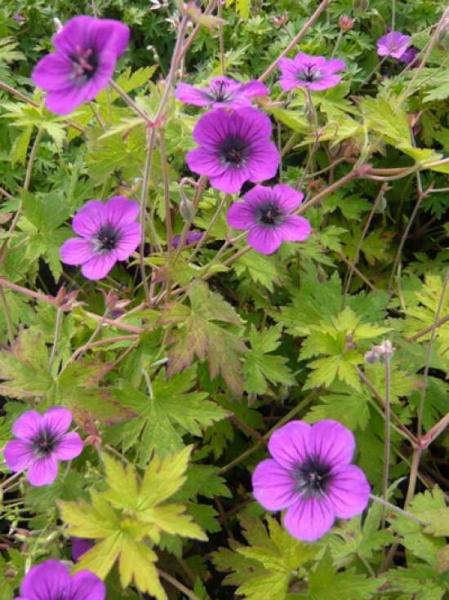 Geranium Psilostemon-Hybride 'Ann Folkard' / Garten-Storchschnabel