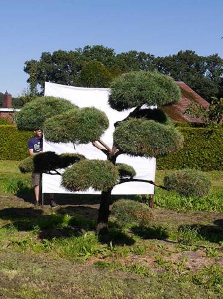 Pinus sylvestris H: 250 cm B: 260 cm / Garten-Bonsai (876)