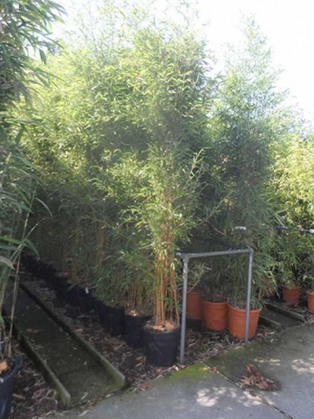Phyllostachys aureosulcata 'Spectabilis' / Flachrohr-Bambus 200-250 cm im 25-Liter Container