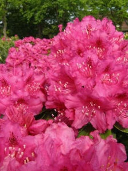 Rhododendron Hybride 'Granat' / Rhododendron 'Granat'