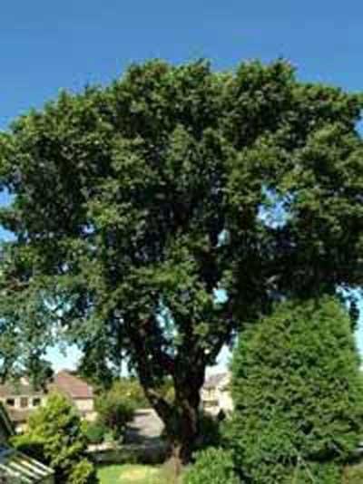Quercus petraea / Trauben-Eiche / Winter-Eiche