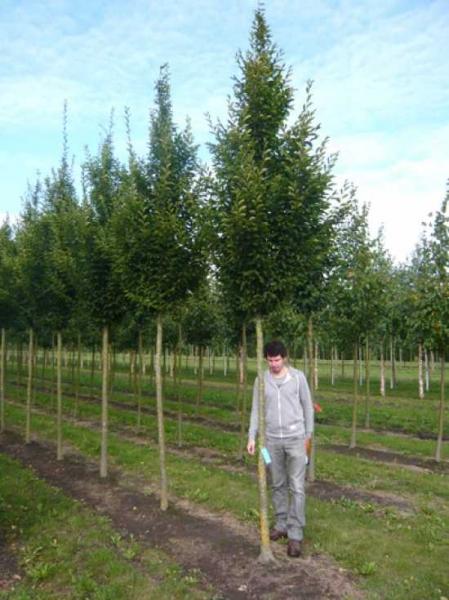 Carpinus betulus 'Fastigiata' / Pyramiden-Hainbuche Hochstamm 20-25 StU m.Db.