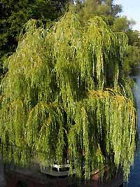 Salix alba 'Tristis' / Hänge-Weide / Trauer-Weide