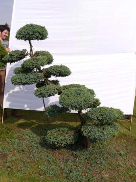 juniperus squamata 39 blue carpet 39 h 180 cm b 170 cm garten bonsai 0100 g nstig kaufen. Black Bedroom Furniture Sets. Home Design Ideas