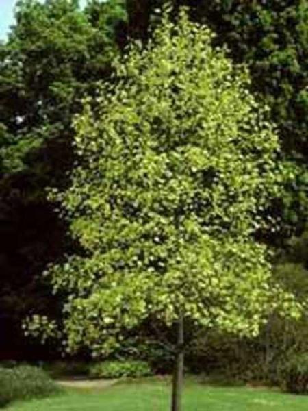 Liriodendron tulipifera 'Aureomarginatum' / Goldgelber Tulpenbaum