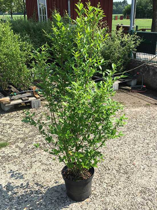 ligustrum ovalifolium ovalbl ttriger liguster 100 125 cm im 10 liter container g nstig kaufen. Black Bedroom Furniture Sets. Home Design Ideas
