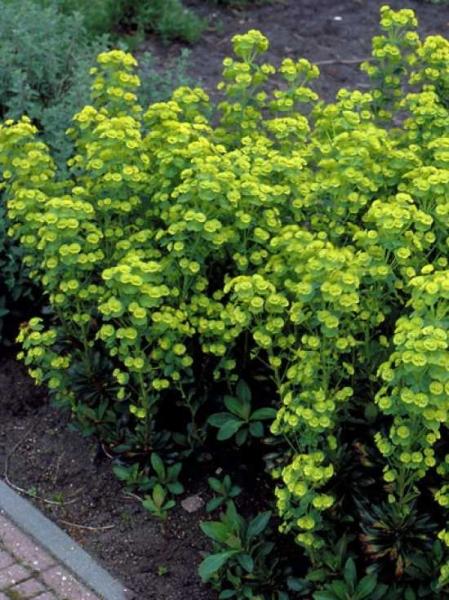 Euphorbia characias ssp. characias 'Forescate' / Mittelmeer-Wolfsmilch