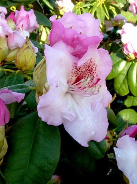 Rhododendron Hybride 'Simona' / Rhododendron 'Simona'
