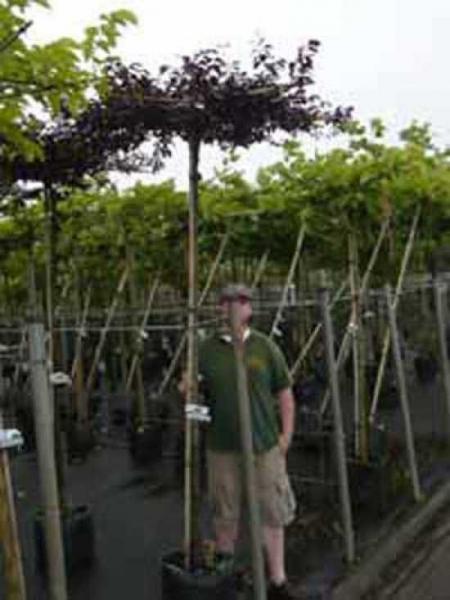Prunus cerasifera 'Nigra' Dachform/Dachspalier / Blut-Pflaume