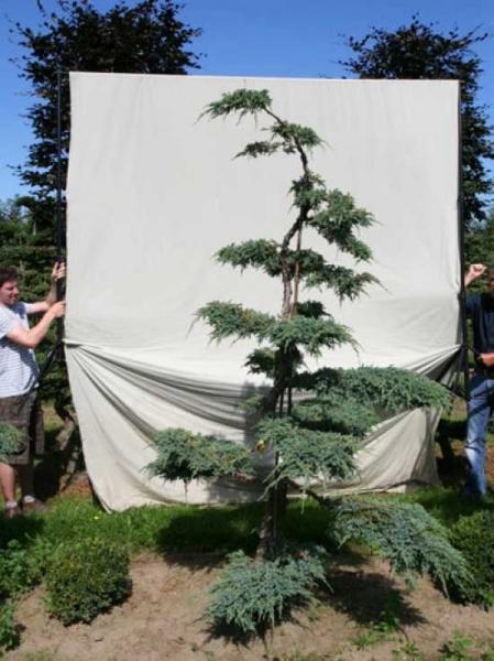 Juniperus squamata 'Blue Carpet' H: 240 cm B: 140 cm / Garten-Bonsai (306138)