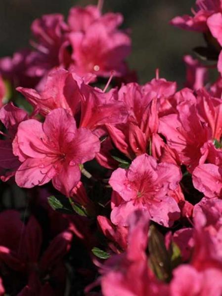 Rhododendron nakaharai 'Tootsie' / Japanische Azalee 'Tootsie'