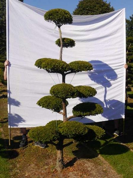 Taxus baccata 'Semperaurea' H: 240 cm B: 140 cm / Garten-Bonsai (0193)