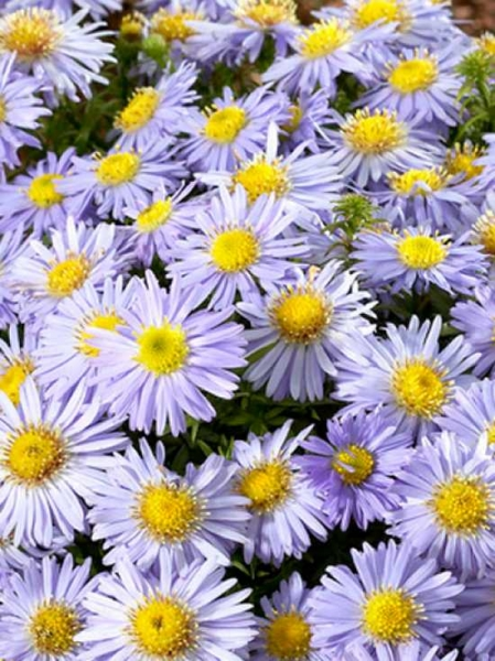 Aster dumosus 'Lady in Blue' / Kissen-Aster