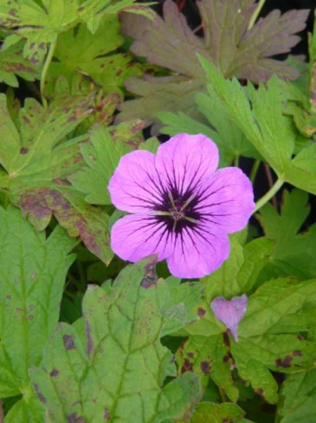 Geranium psilostemon 'Patricia' / Garten-Storchschnabel