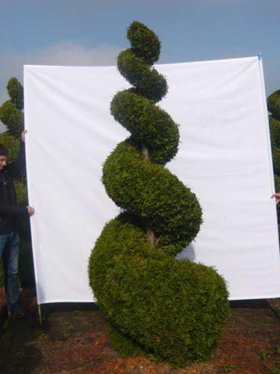 thuja plicata 39 martin 39 h 225 250 cm garten bonsai 07799 g nstig kaufen baumschule new garden. Black Bedroom Furniture Sets. Home Design Ideas