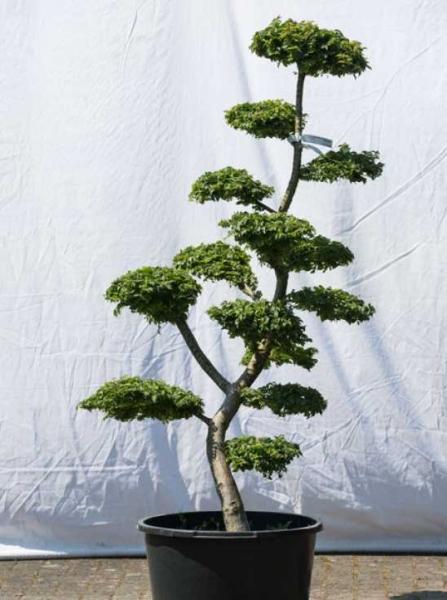 Ulmus minor 'Jacqueline Hillier' H: 160 cm B: 80 cm / Garten-Bonsai (564)