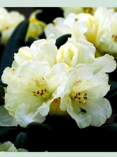 Rhododendron wardii 'Marina' / Rhododendron 'Marina'