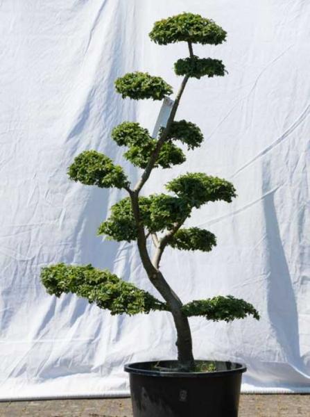 Ulmus minor 'Jacqueline Hillier' H: 170 cm B: 100 cm / Garten-Bonsai (566)