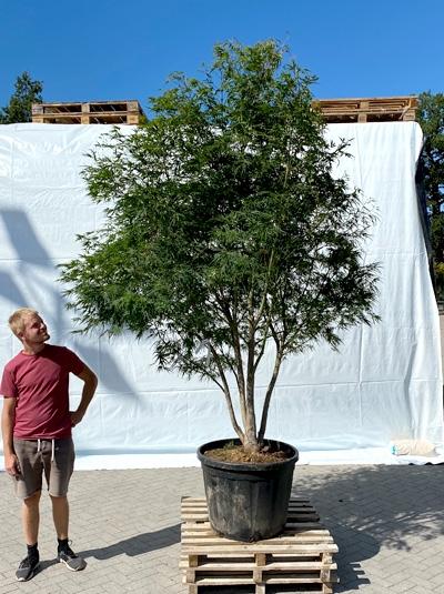 Acer palmatum 'Linearilobum' / Japanischer Fächerahorn 'Linearilobum' 200-250 cm (1210)