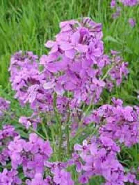 Hesperis matronalis / Nachtviole