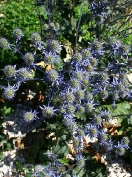 Eryngium planum 'Blaukappe' / Kleiner Mannstreu / Edeldistel