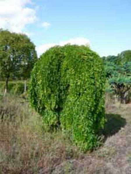 Sophora japonica 'Pendula' / Hängender Perlschnurbaum / Hängender Honigbaum