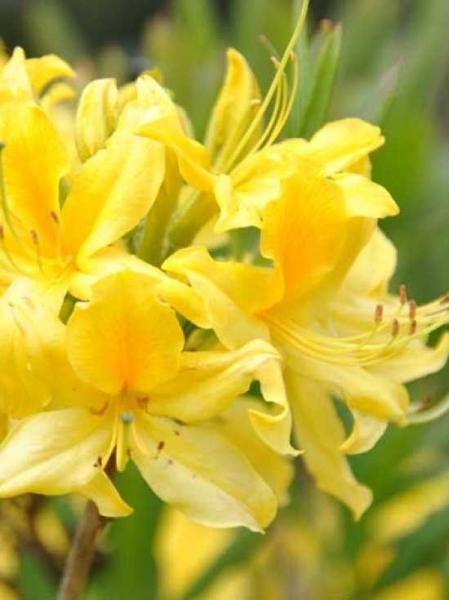Azalea luteum 'Pontica' (Knap-Hill) / Laubabwerfende Azalee 'Pontica'