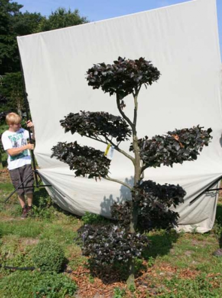Fagus sylvatica 'Purpurea' H: 210 cm B: 150 cm / Garten-Bonsai (701118)