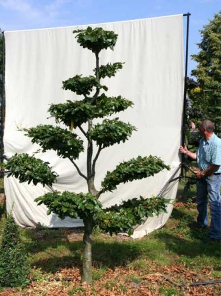 Fagus sylvatica H: 260 cm B: 150 cm / Garten-Bonsai (702110)