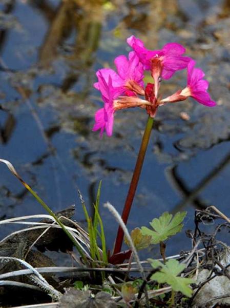 Primula rosea / Rosen-Primel