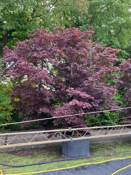 Acer palmatum 'Bloodgood' 400-500 cm breit x 400-450 cm hoch / Fächer-Ahorn (Nr.126)
