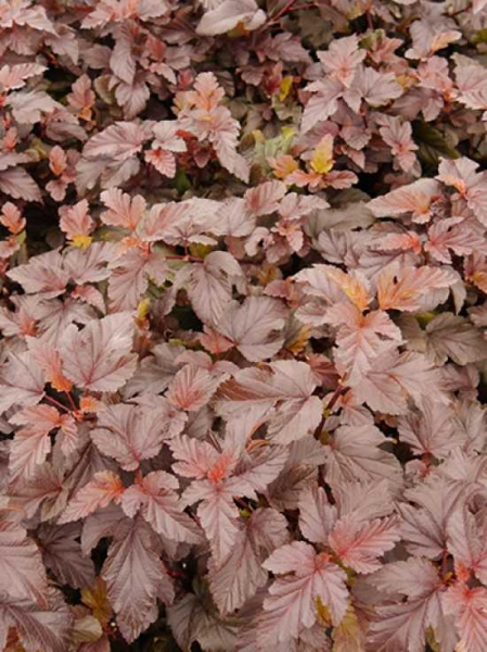 Physocarpus opulifolius 'Lady in Red ®' / Blasenspiere 'Lady in Red'
