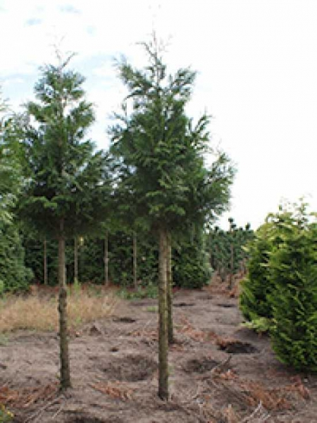 thuja plicata 39 martin 39 lebensbaum 39 martin 39 g nstig bestellen baumschule new garden. Black Bedroom Furniture Sets. Home Design Ideas