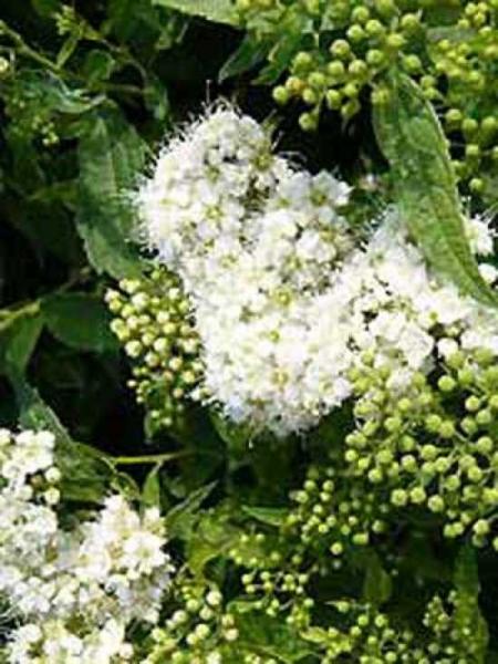Spiraea japonica 'Albiflora' / Weiße Japan-Spiere