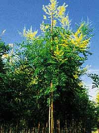 Blasenbaum