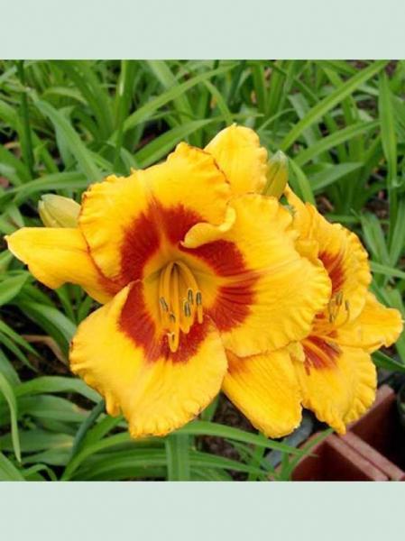 Hemerocallis cultorum 'Fooled Me' / Taglilie
