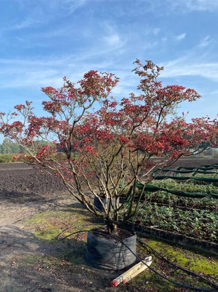 Azalea luteum 'Fireball' (Knap-Hill) / Laubabwerfende Azalee 'Fireball' 300-350 cm breit x 225-250 cm hoch
