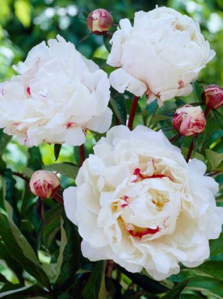Paeonia lactiflora 'Festiva Maxima' / Edel-Pfingstrose