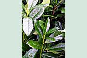 Prunus_Novita