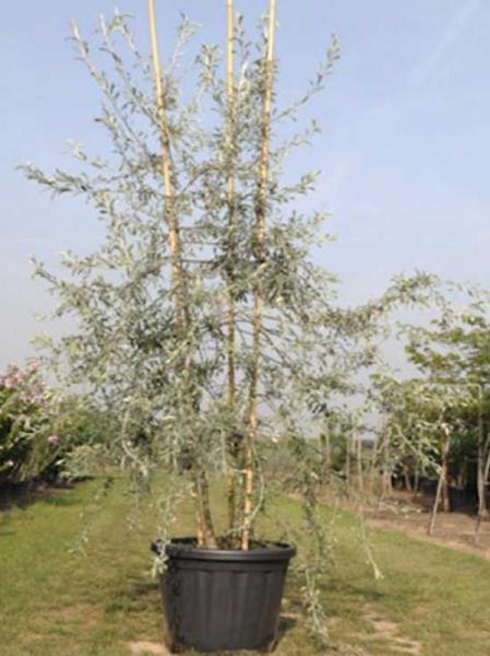 Pyrus salicifolia 'Pendula' / Weidenblättrige Hänge-Birne 'mehrstämmig'