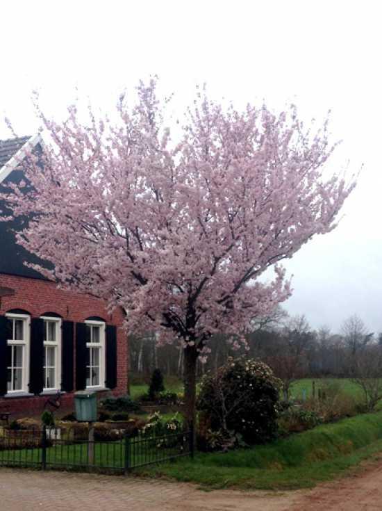 Prunus Serrulata Kanzan Japanische Nelken Kirsche Gunstig Kaufen